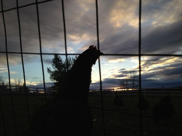 chicken sunset